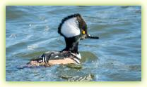 Male Hooded Merganser on the Shark River at Belmar Marina.