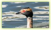 Close up of a Horned Grebe showing breeding plumage at the Belmar Marina, NJ.