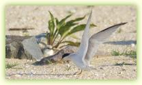 Adult Least Tern with chick at the Shark River Inlet at Belmar.