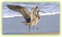 Whimbrel taking flight on the north beach at Sandy Hook, NJ.