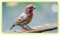 Red male House Finch on the railing of our front steps.