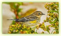 Yellow-rumped Warbler in fall at Sandy Hook.