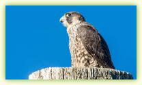 Peregrine Falcon atop a utility pole at Sandy Hook's Parking Lot B.