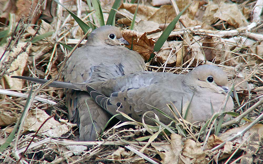 Mourning Dove Nest to have created a nest for